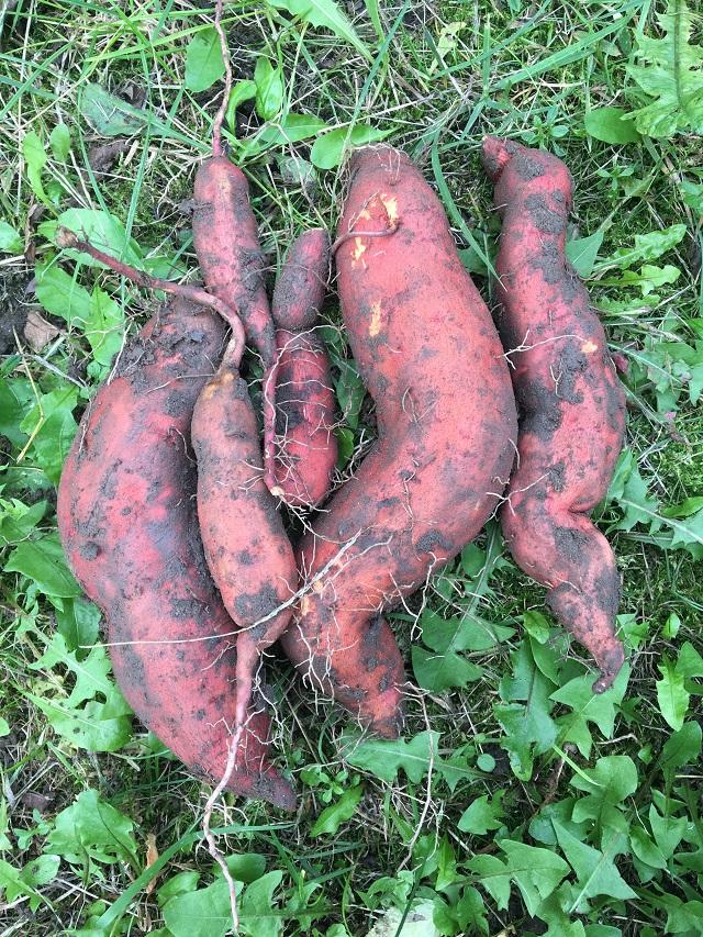 Batáty z vlastnej záhrady